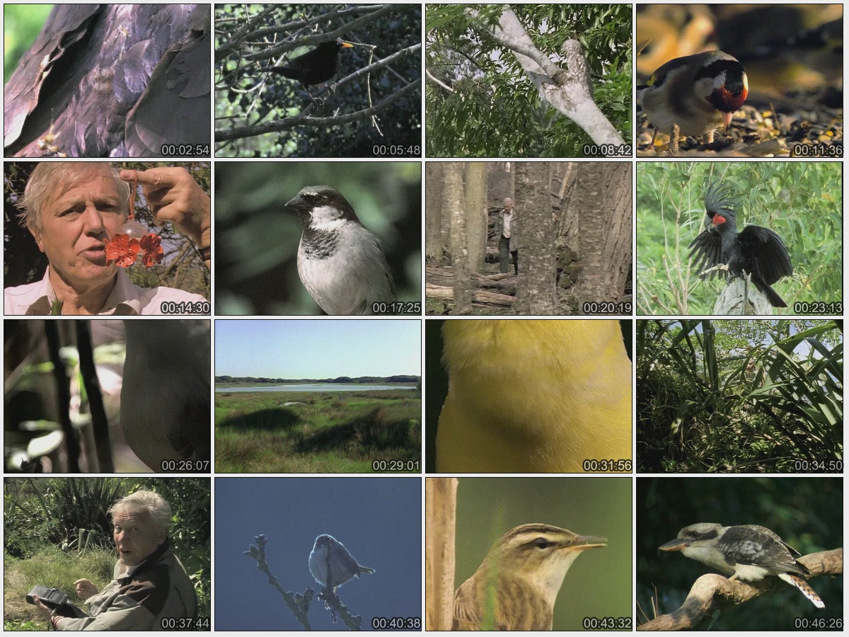 BBC The Life Of Birds 06of10 Signals And Songs DivX511 AC3 www mvgroup org